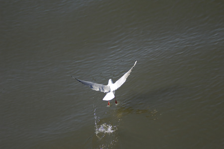 blast off: Seagull taking off from water surface Stock Photo