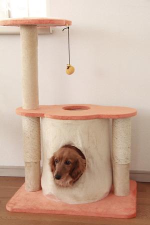 miniature breed: Torre del gato y el Dachshund miniatura