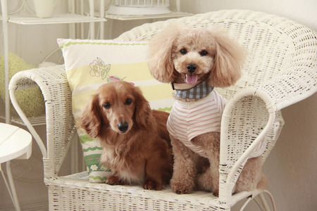 miniature poodle: Good friend toy poodle and miniature Dachshund