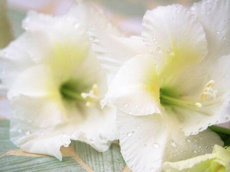 gladiolus: White gladiolus