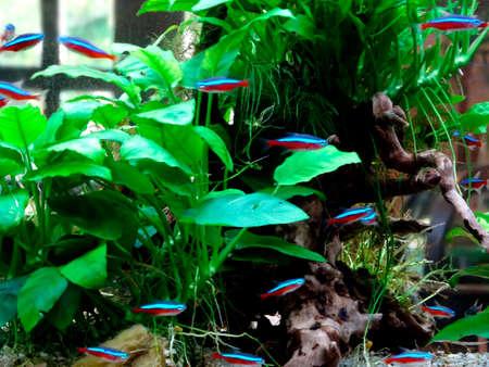 waterweed: Tropical fish aquarium