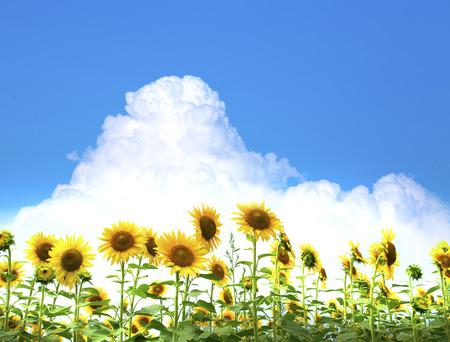 cumulonimbus: Sunflower and cumulonimbus