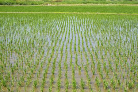 immediately: Rice fields immediately after planting