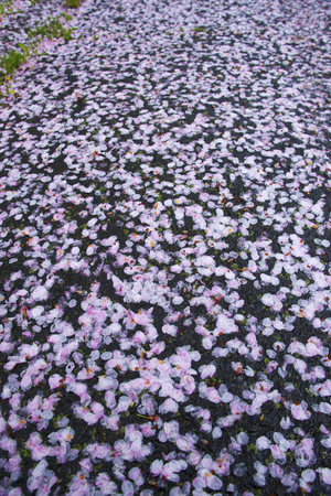 scatter: Cherry blossoms scatter