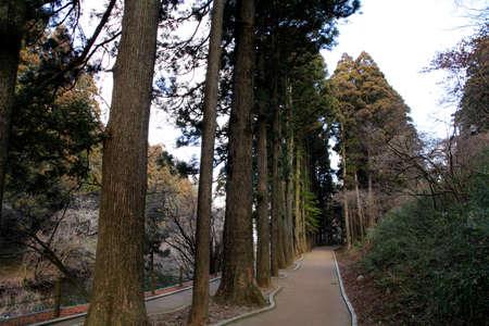 cedro: Cedar callej�n Foto de archivo
