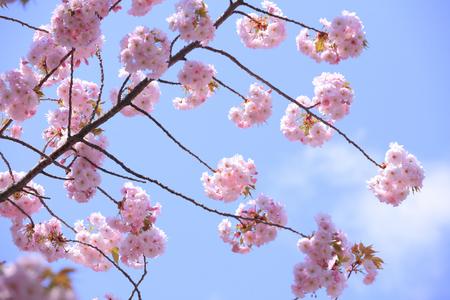 northeast: Sakura Yae Stock Photo