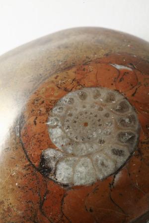 fossils: Ammonite fossils