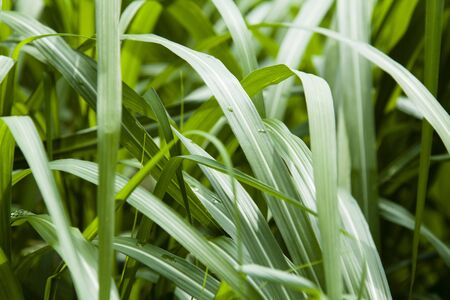 sinensis: Leaves of Miscanthus sinensis