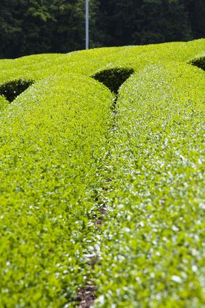 chubu: Tea plantation Stock Photo