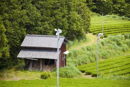 japanese tea garden: Tea plantation Stock Photo