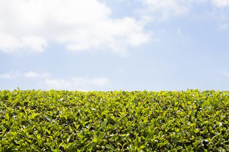 japanese tea garden: Tea plantations and blue sky