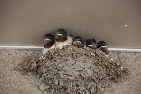 tragos: golondrinas del polluelo