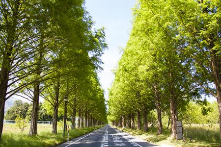 metasequoia: Metasequoia trees