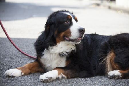 herding dog: Bernese Stock Photo