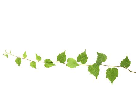 ivy: Ivy