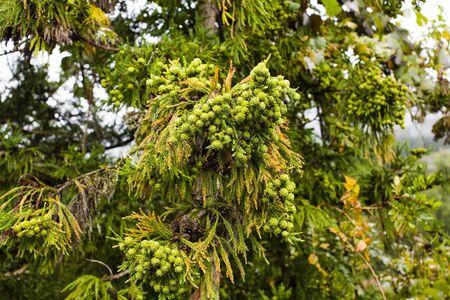 cedro: Cedar reales