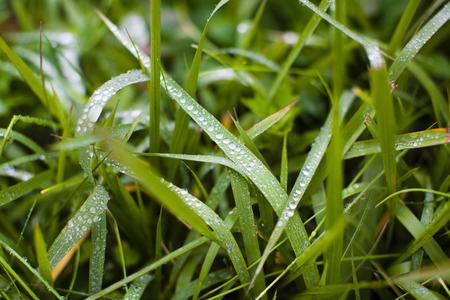 morning dew: Grass marked with morning dew Stock Photo