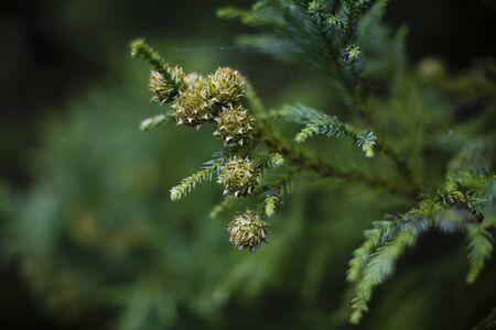 cedar: Cedar reales