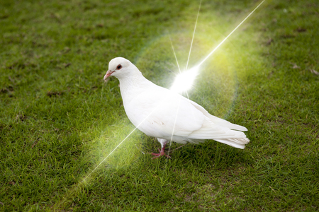 at white: White dove