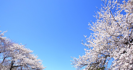 sense of space: The cherry blossoms