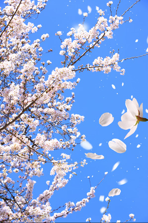 scatters: Cherry tree scatters flowers Stock Photo