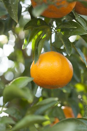 tangerine: Tangerine fields Stock Photo
