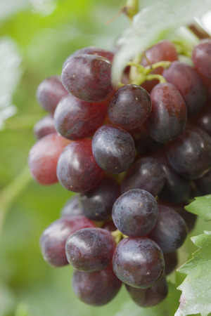 wink: Vineyards Wink