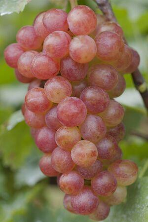maiden: Grape vineyard Kai maiden Stock Photo