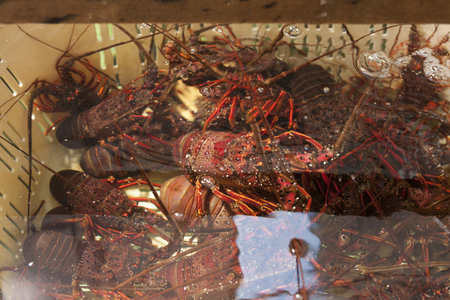 spiny lobster: Containing spiny lobster to preserve