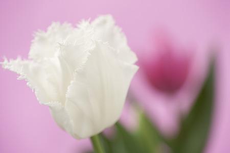 at white: White Tulip Stock Photo