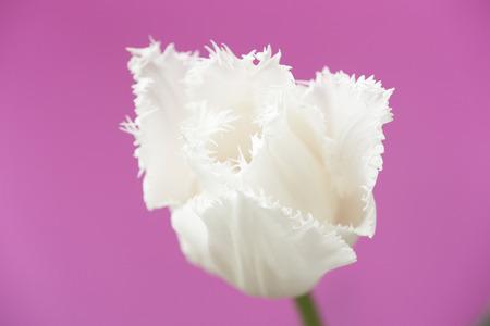 white tulip: White Tulip Stock Photo