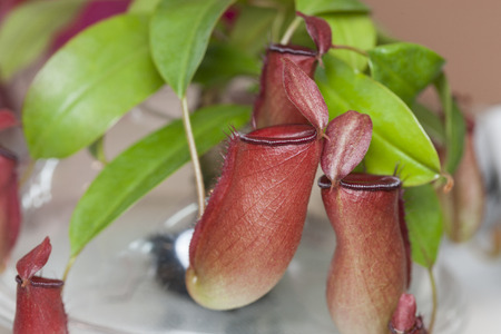 nepenthes: Nepenthes