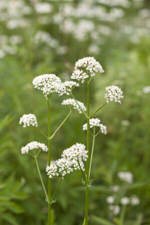valerian: Valerian Stock Photo