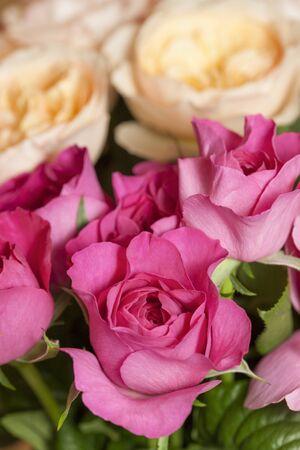 english rose: English Rose Stock Photo