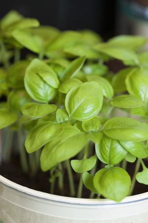 a bud  a sprout  a shoot: Germinated basil