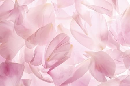 バラの花びら 写真素材