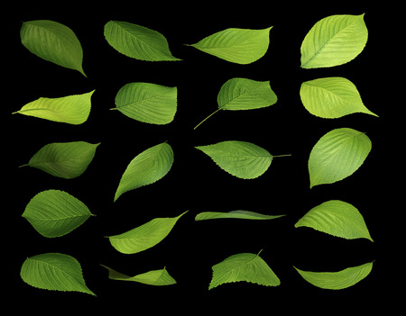 young leaves: Variations of young leaves