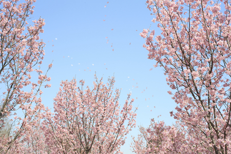 petals of cherry dance fall