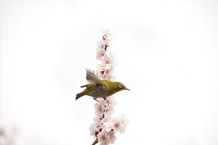 plum grove: Plum and Japanese white-eye Stock Photo