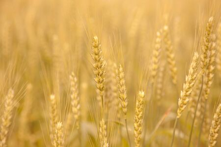 saga: Saga Prefecture, wheat fields Stock Photo
