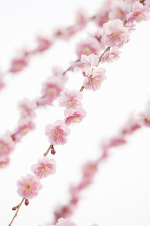 osakajo: Osaka Castle Park Bairin of plum