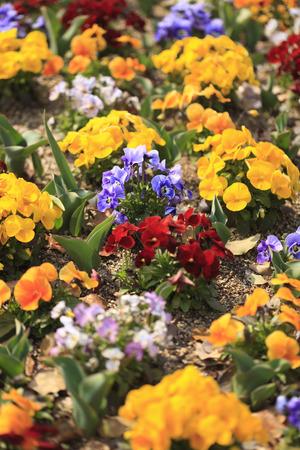 bushy plant: Pansy flower beds