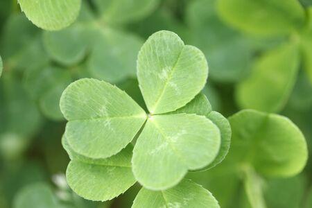 trifolium repens: Shamrock Stock Photo