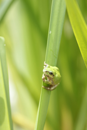 grenouille: Frog and leaf