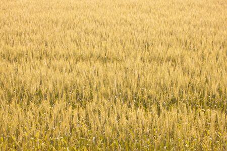saga: Wheat fields of Saga