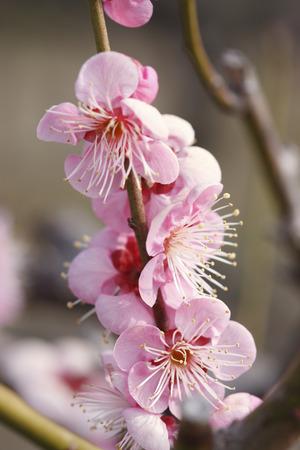 osakajo: Osaka Castle plum Stock Photo
