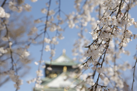 osaka castle: The Castle Tower of Osaka Castle and cherry blossoms