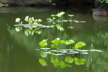 garden pond: Leaves of lotus garden pond