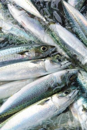 has been: Mackerel landings has been fishing port Stock Photo