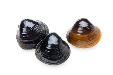 Daiwa freshwater clam